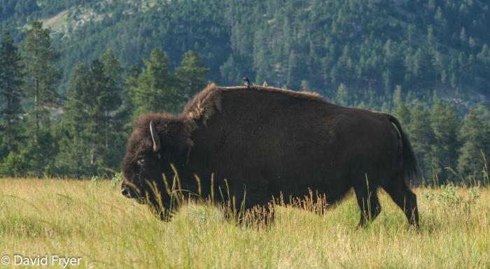 Bison-59