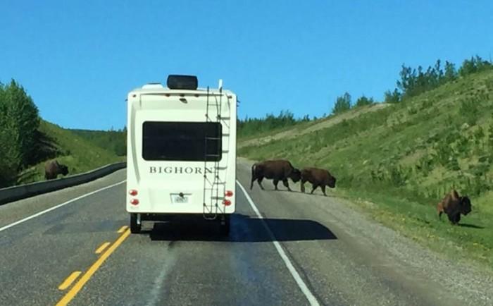 Bighorn Bison-2-4