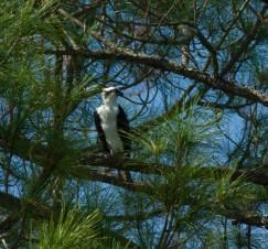 Cedar Key FL Osprey Fish Hawk 2018-139