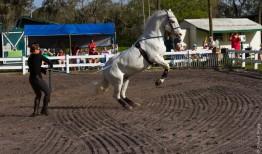 Lipizzaner Stallions FL 2019-43