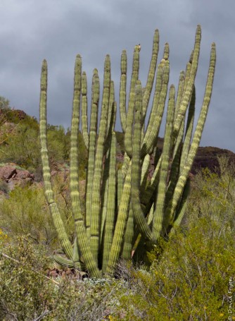 Organ Pipe Cactus NM March 2020-148