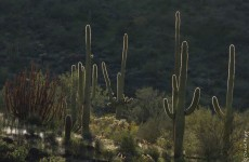 Organ Pipe Cactus NM March 2020-253